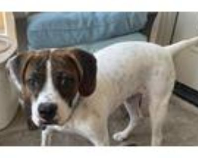 Adopt Bailey a Hound (Unknown Type) / Mixed dog in Chandler, AZ (32223152)