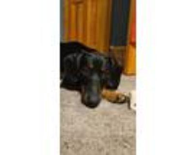 Adopt Mon Cheri a Hound (Unknown Type) dog in Gilbertsville, PA (31995518)