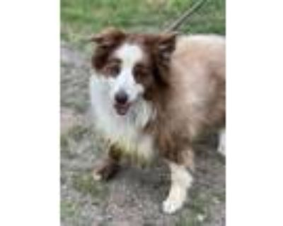 Adopt Megan a Brown/Chocolate - with White Australian Shepherd / Mixed dog in