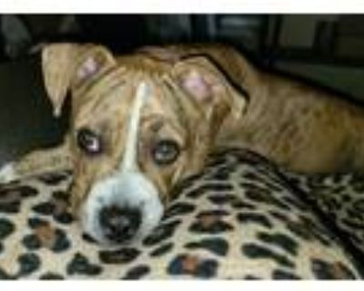 Adopt Citrine a Pit Bull Terrier, Boxer