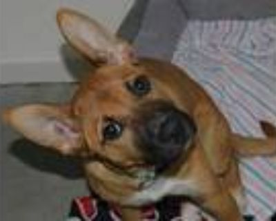 Adopt BABY SHARK a Brown/Chocolate - with Black Belgian Malinois / Mixed dog in