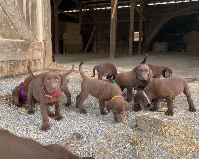 Chocolate Labrador Retriever Puppies❤️❤️$750