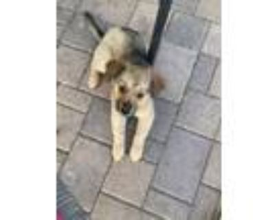 Adopt Deming a Tan/Yellow/Fawn - with Black Shepherd (Unknown Type) / Mixed dog