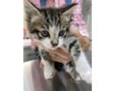 Adopt SVB Lilly PR #3 - Drusilla a Domestic Short Hair