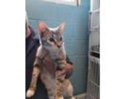 Adopt Star a White Tonkinese / Domestic Shorthair / Mixed cat in Greenville