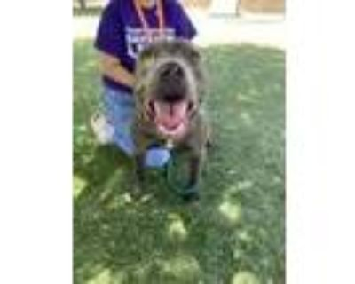 Adopt Miso a Tan/Yellow/Fawn American Pit Bull Terrier / Mixed dog in El Paso