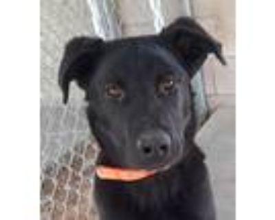 Jake, Labrador Retriever For Adoption In Palmdale, California