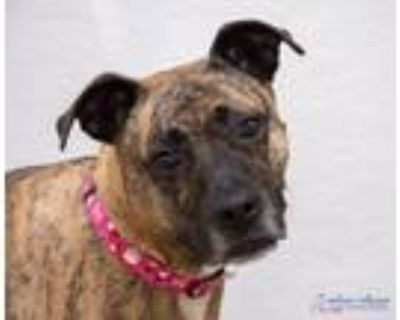 Adopt Lucy 48144899 a Pit Bull Terrier