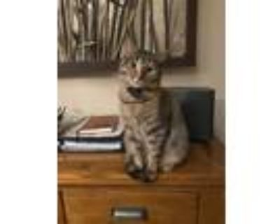 Adopt Potato a Brown Tabby American Shorthair / Mixed cat in Denver