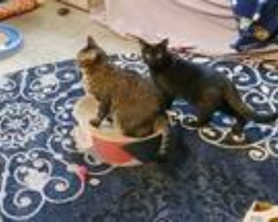Adopt Fern a Brown or Chocolate Domestic Shorthair / Mixed cat in Morgantown
