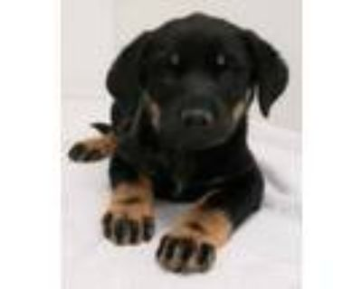 Adopt Fishie a Rottweiler, Mixed Breed