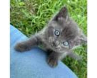 Adopt Pockets a Gray or Blue Domestic Mediumhair / Mixed cat in Winchester