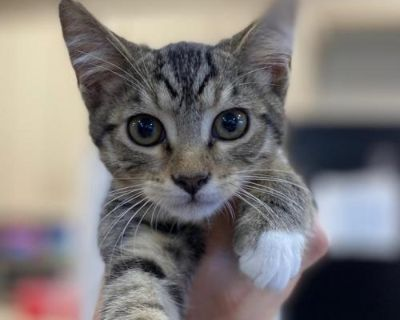 Male Domestic Short Hair named Batman available for adoption