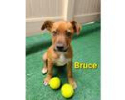 Adopt Bruce a German Shepherd Dog, Labrador Retriever