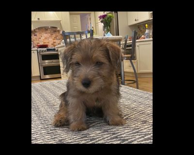 Norfolk Terrier Puppies