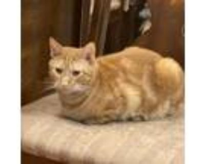 Adopt Waldo a Orange or Red American Shorthair / Mixed cat in Winchester