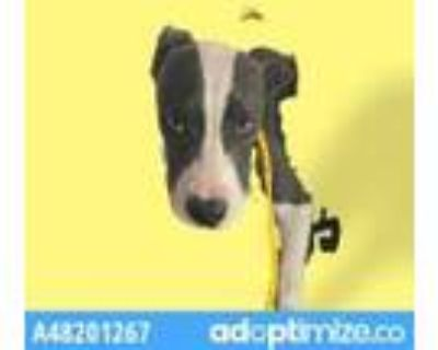 Adopt 48201267 a Gray/Blue/Silver/Salt & Pepper Pit Bull Terrier / Mixed dog in