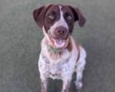 Adopt CHEF a Black - with White German Shorthaired Pointer / Mixed dog in