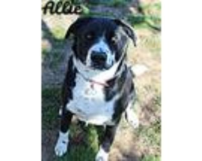 Adopt Allie a Border Collie, Mixed Breed