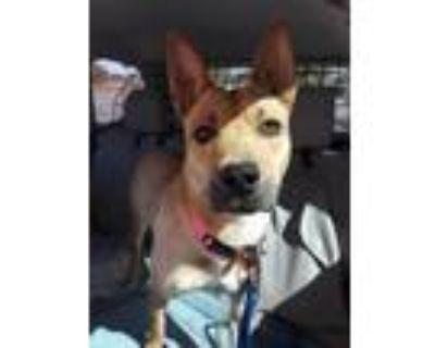Adopt Ava a Tan/Yellow/Fawn Belgian Malinois / Mixed dog in Albuquerque