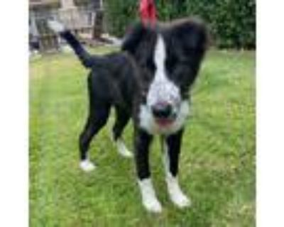 Adopt Megan a Black - with White Border Collie / Mixed dog in Studio City