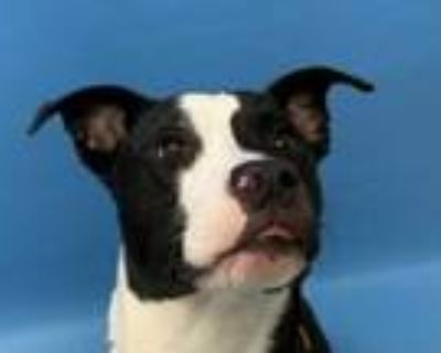 Adopt Remix a Black American Pit Bull Terrier / Mixed dog in Woodbury