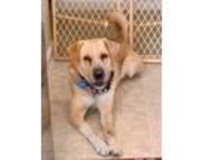 Adopt Gabriel a Labrador Retriever, Shar-Pei