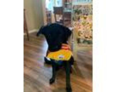 Adopt Milo a Black - with White Labrador Retriever / Golden Retriever / Mixed