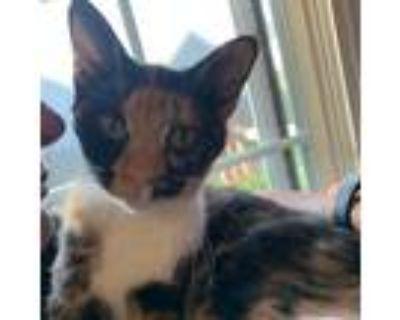 Adopt Josie a Tortoiseshell Domestic Shorthair / Mixed cat in Chesapeake