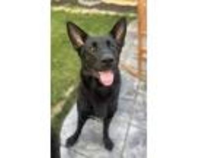 Adopt Jack a Black German Shepherd Dog / Mixed dog in Noblesville, IN (32061229)