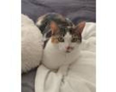Adopt Lydia a Calico or Dilute Calico American Shorthair / Mixed cat in Saint