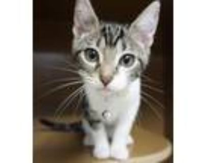 Adopt Lyric -$25 a American Shorthair, Domestic Short Hair