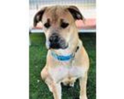 Adopt Koa a Brown/Chocolate Mastiff / Mixed dog in Rio Rancho, NM (31353454)
