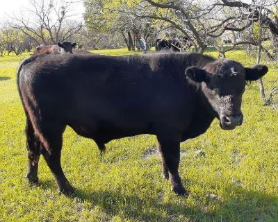 Black Angus Bull