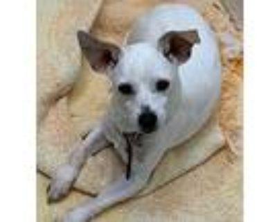 Sweet Bentley, Rat Terrier For Adoption In Burbank, California