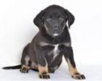 Adopt A591026 a Rottweiler, Labrador Retriever