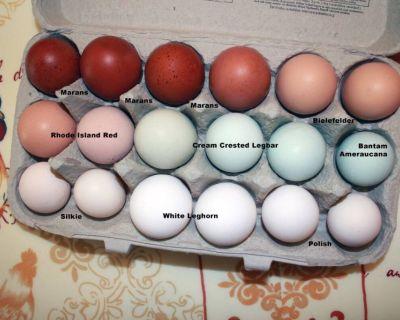 Fertile Hatching Purebred Chicken Eggs