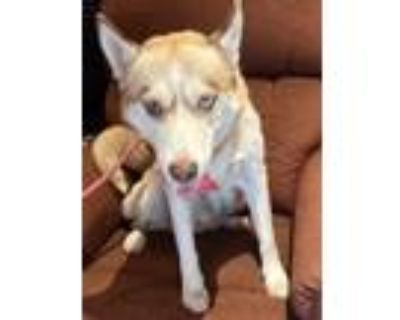 Adopt Roxy a White - with Tan, Yellow or Fawn Husky / Mixed dog in Los Angeles