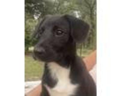 Adopt Toez a Labrador Retriever, Border Collie