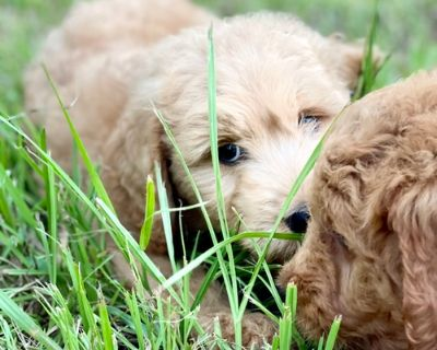 Goldendoodle Puppy for Sale - Benedict