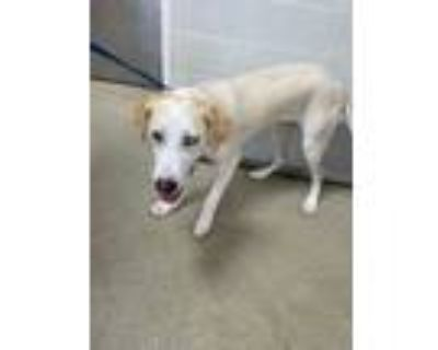 Adopt 48339969 a White Labrador Retriever / Mixed dog in Fort Worth