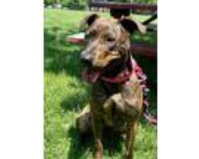 Adopt Josie a Pit Bull Terrier / Mixed dog in Boston, MA (31074453)