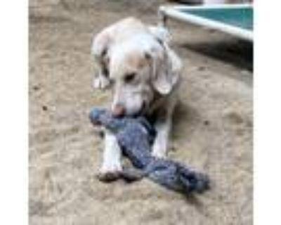 Adopt 21-028 Harley a Treeing Walker Coonhound