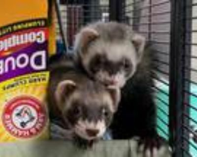 Adopt MARY a Silver or Gray Ferret / Mixed small animal in Boston, MA (31564980)