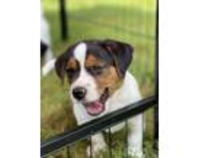 Adopt Meatball a Border Terrier, Dachshund