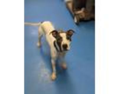 Adopt Braxton a White - with Brown or Chocolate American Pit Bull Terrier /