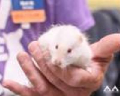 Adopt Snowball a White Hamster / Hamster / Mixed small animal in Lowell