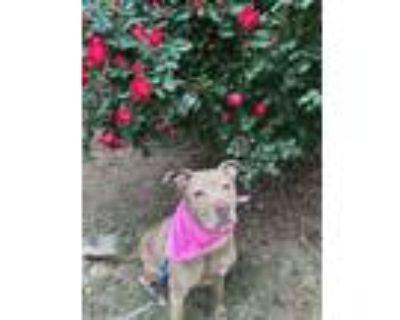 Adopt Bella a Chocolate Labrador Retriever