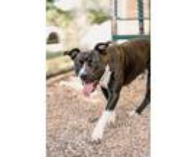 Adopt Lola a Pit Bull Terrier, Mixed Breed