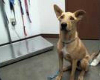 Adopt CEDAR a Tan/Yellow/Fawn Labrador Retriever / German Shepherd Dog / Mixed